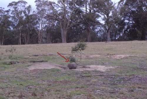 escaping wombat